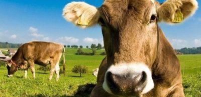 Vaca Marrom - Achocolatado