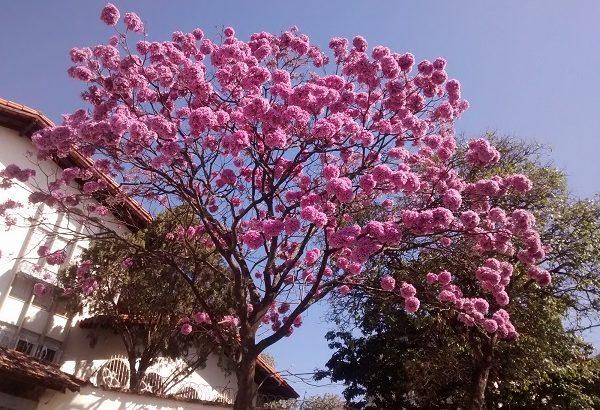 Tabebuia Handroanthus Rosa - Pampulha -Beagá