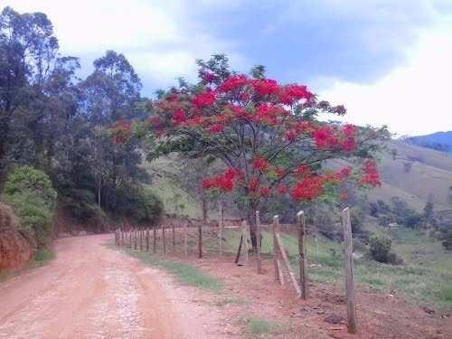 Ipê Vermelho - Tabebuia gemmiflora